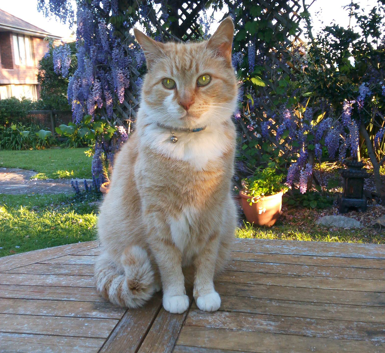 Beautiful Ginger Cat on table outside
